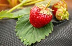 说谎在有雨珠的一片绿色叶子的草莓在防护织品的一个黑基体 免版税库存图片