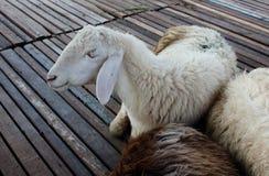 说谎在木地板上的白羊 免版税库存照片