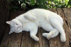 说谎在木桌和凝视上的白色波斯猫 免版税库存图片