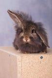 说谎在木箱子的狮子顶头兔子兔宝宝 免版税图库摄影