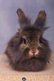 说谎在木箱子的逗人喜爱的狮子头兔子兔宝宝 图库摄影