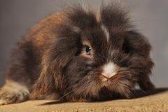 说谎在木箱子的逗人喜爱的狮子头兔子兔宝宝 库存图片