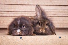 说谎在木背景的两逗人喜爱的狮子头兔子bunnys 免版税库存图片