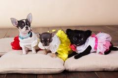 说谎在枕头的三条奇瓦瓦狗狗 免版税库存图片