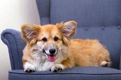 说谎在椅子的小狗 免版税库存图片