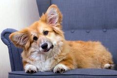 说谎在椅子的小狗 库存图片