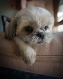 说谎在椅子的懒惰Shih慈济小狗 库存照片