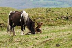 说谎在母马旁边的Dartmoor小马公驹 免版税库存照片