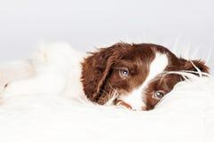 说谎在毛皮的困英国斯伯林格西班牙猎狗小狗 免版税库存图片
