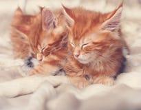 说谎在毯子的两只美丽的红色坚实缅因浣熊小猫 免版税库存图片