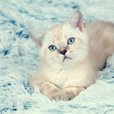 说谎在毯子的小猫 图库摄影