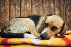 说谎在毯子的狗特写镜头 免版税库存图片