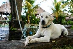 说谎在池塘旁边的金黄拉布拉多猎犬 免版税库存照片