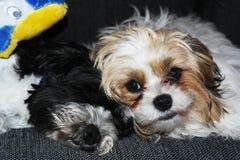 说谎在沙发的小狗 免版税库存照片
