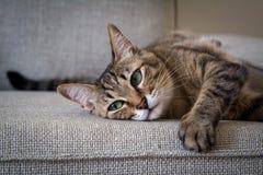 说谎在沙发的猫 免版税库存图片