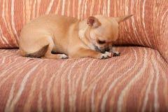 说谎在沙发, 4个月的奇瓦瓦狗小狗女性 库存图片