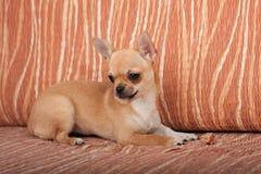 说谎在沙发, 4个月的奇瓦瓦狗小狗女性 免版税库存照片