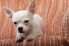 说谎在沙发, 3岁的白色奇瓦瓦狗女性 库存图片