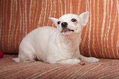 说谎在沙发, 3岁的白色奇瓦瓦狗女性 图库摄影