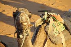 说谎在沙子和嚼的骆驼 免版税库存照片