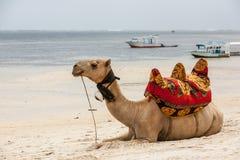 说谎在沙子的骆驼 免版税库存照片
