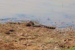 说谎在河岸的鳄鱼 图库摄影
