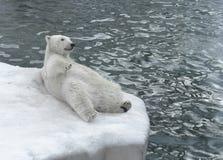 说谎在海滩(在面孔的焦点的)北极熊 免版税库存图片
