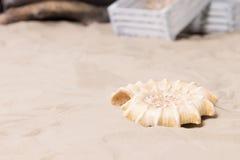 说谎在海滩沙子的螺旋海壳 免版税图库摄影
