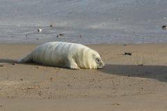 说谎在海滩的一只最近出生的灰色封印Halichoerus grypus小狗享用太阳,等待它的妈咪从海返回 库存图片