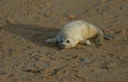 说谎在海滩的一只最近出生的灰色封印Halichoerus grypus小狗享用太阳,等待它的妈咪从海返回 图库摄影