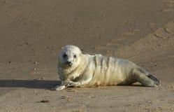 说谎在海滩的一只最近出生的灰色封印Halichoerus grypus小狗享用太阳,等待它的妈咪从海返回 免版税库存照片