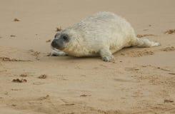 说谎在海滩的一只最近出生的灰色封印Halichoerus grypus小狗,等待它的妈咪从海返回 图库摄影