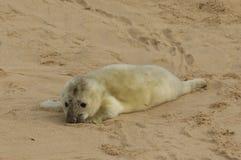 说谎在海滩的一只最近出生的灰色封印Halichoerus grypus小狗,等待它的妈咪从海返回 免版税库存照片