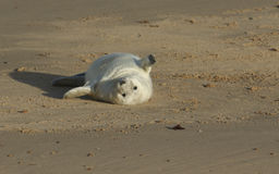 说谎在海滩的一只最近出生的灰色封印Halichoerus grypus小狗,等待它的妈咪从海返回 库存照片