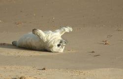 说谎在海滩的一只最近出生的灰色封印Halichoerus grypus小狗,等待它的妈咪从海返回 免版税库存图片