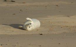 说谎在海滩的一只最近出生的灰色封印Halichoerus grypus小狗,等待它的妈咪从海返回 免版税图库摄影