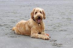 说谎在海滩的狗 库存照片