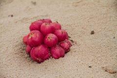 说谎在海滩的红色果子 图库摄影