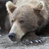 说谎在湖岸的一头棕熊的画象  免版税图库摄影