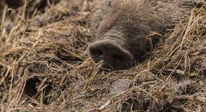 说谎在湿肮脏的干草的野生猪的鼻子细节  免版税库存图片