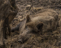 说谎在湿肮脏的干草的野生猪 图库摄影