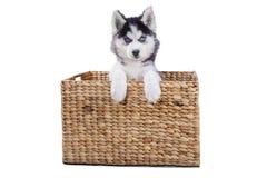 说谎在演播室的篮子里面的多壳的小狗 库存照片