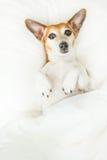 说谎在白色卧具的后面的迷茫的困可爱的狗 库存图片