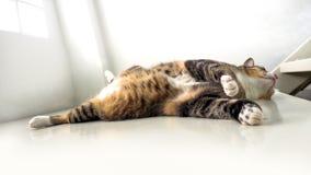 说谎在白色台阶的猫显示肥胖腹部 库存照片