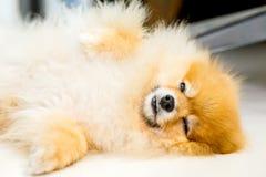 说谎在白色地板上的狗 免版税库存照片