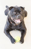 说谎在白色步的斯塔福德郡杂种犬拿着球, 库存图片