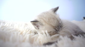 说谎在白色毯子的小小猫 影视素材