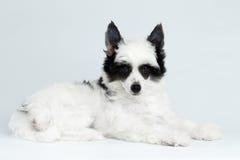 说谎在白色背景的中国有顶饰小狗 免版税图库摄影