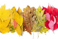 说谎在白色背景的收集的槭树和橡木叶子 免版税库存照片