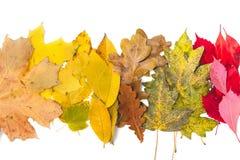 说谎在白色背景的收集的槭树和橡木叶子 库存照片